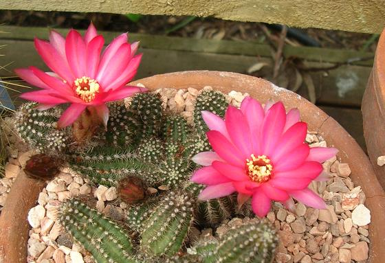spring cacti flowers - Page 8 Firechief