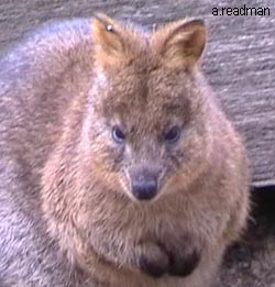 close up of Quokka