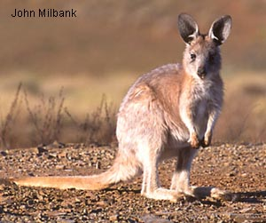 wallaroo - photo #28