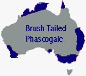 location of brush tailed
