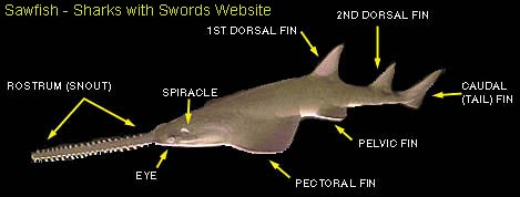 Parts of a Sawfish - link to (Sharks with Swords website)