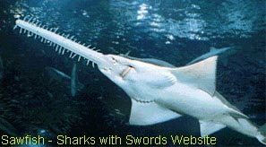 Underside of a Sawfish - Link to (Sharks with Swords website)