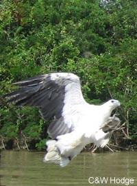 Sea eagle swooping in on a fish