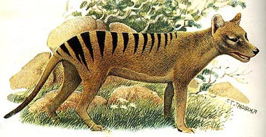 Thylacine videos, photos and facts - Thylacinus cynocephalus | ARKive