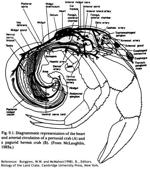 Crab Anatomy Diagram